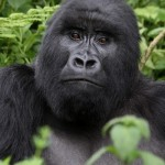 Die Berggorillas von Rumabgabo